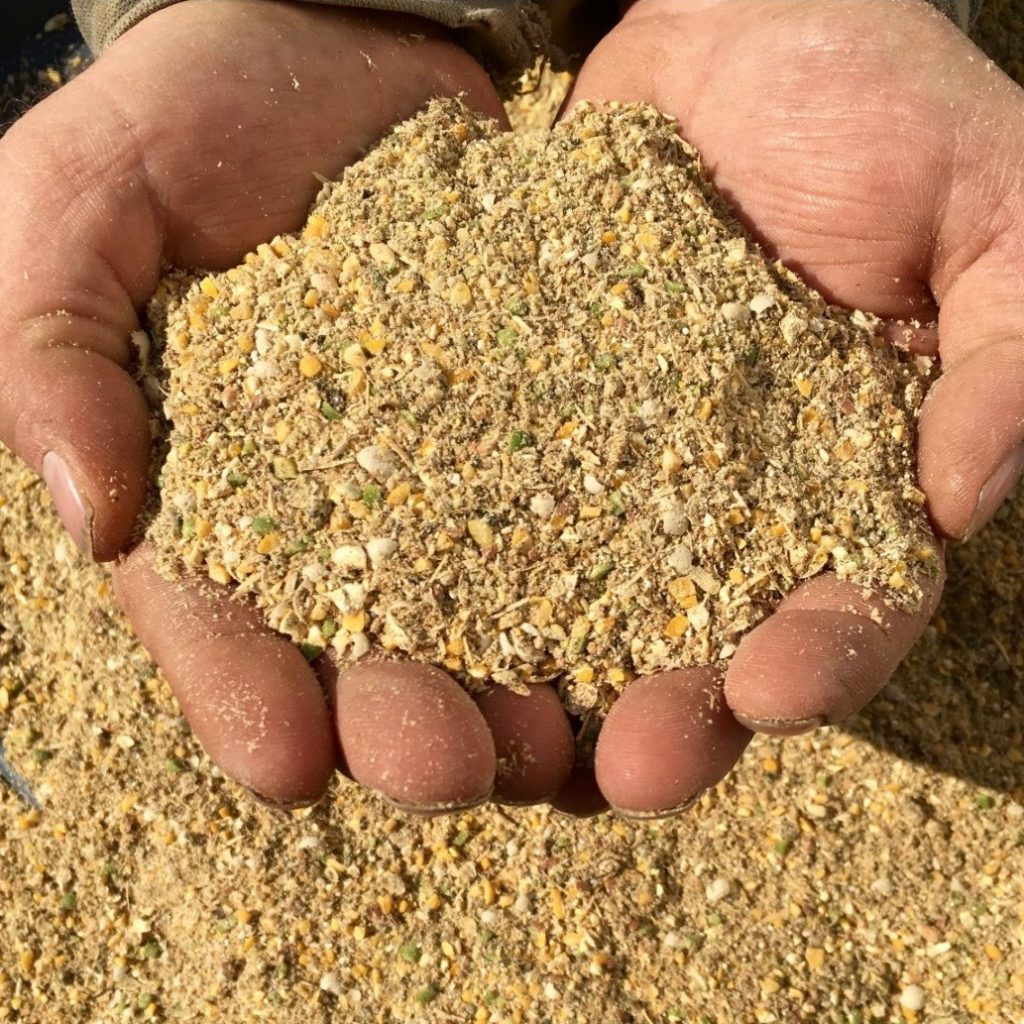 close up of hands holding some poultry starter feed in mash form